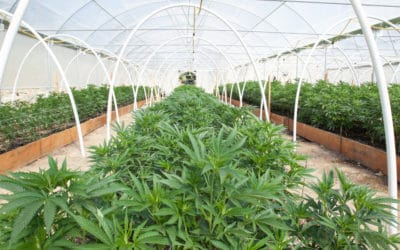 Nature and Nurture: The Primary Ways Cannabis is Grown